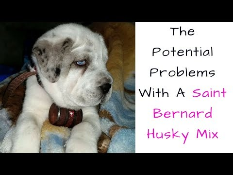 The Potential Problems With A Saint Bernard Husky Mix