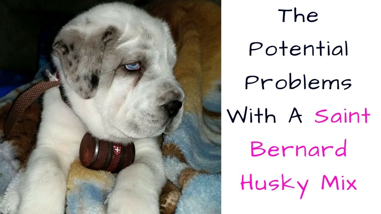 The Potential Problems With A Saint Bernard Husky Mix Youtube