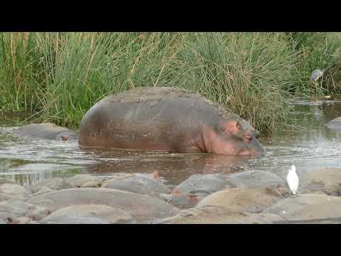 Dozens of hippos bathing in Ngorongoro Crater, Tanzania, 2017-09-12