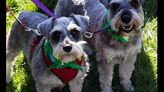 Guinness World Records - Most dogs wearing bandanas record broken in Australia (Update May 15,2015)
