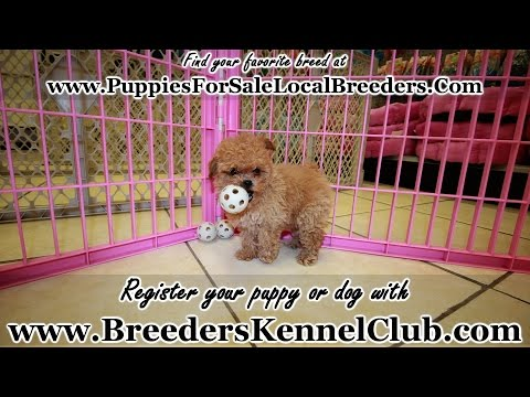 Toy Poodle, Puppies For Sale, In Tampa, Florida, FL, 19Breeders, Fort Lauderdale, Hollywood