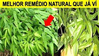Planta Medicinal Cajuru – Ótima Para Tratamentos