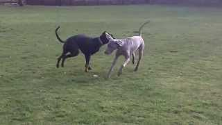 Doberman Dexter Meets Weimaraner Sebastian At A & B Dogs Boarding & Training Kennels.