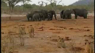 Lion Group bloody killing elephants
