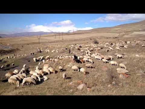 Нашествие баранов. Армения.