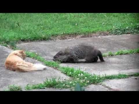 Groundhog vs. Cat