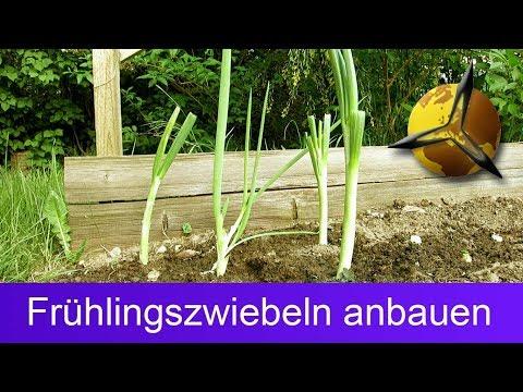 Frühlingszwiebeln anbauen / nachwachsen lassen
