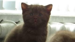 шотландские котята. Окрас циннамон. ПРОДАЖА!