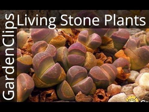 Lithops - Living Stones - Living Stone Plants - Succulent Stone Plant - Easy Houseplants
