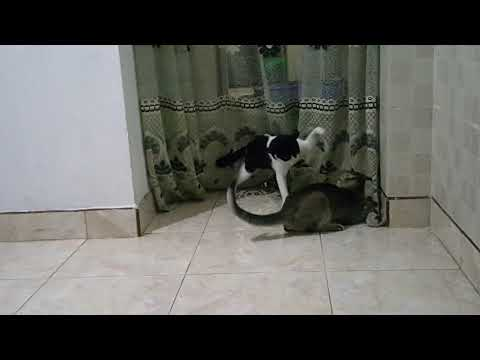 Angry cats fighting