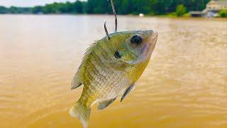 Bluegill for Catfish Bait in the Spring