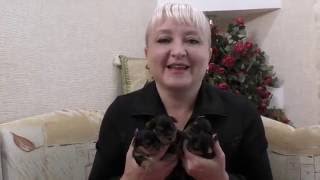 Питомник XX-Vek: родились щенки йоркширского терьера