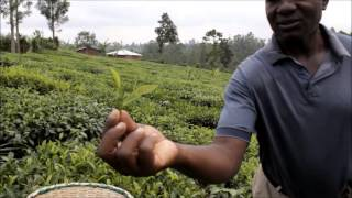 A Day in the Life of a Kenyan Tea Farmer- Part.1