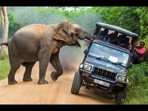 Животные против автомобилей! Носорог, слон, бегемот, бык против машин!