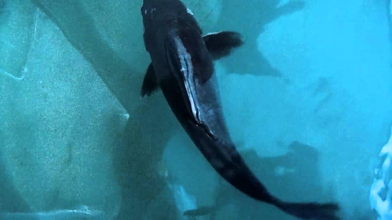 Carpa negra 30 cm boca pintada belo exemplar karasugoi for Carpa koi negra