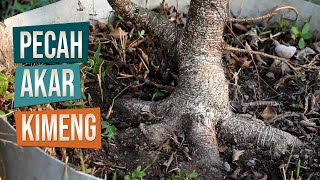 Cara Pecah Akar Bahan Bonsai Kimeng Di Kebun Ground Belajar Bonsai