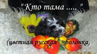 Кто тама............? (цветная русская болонка)