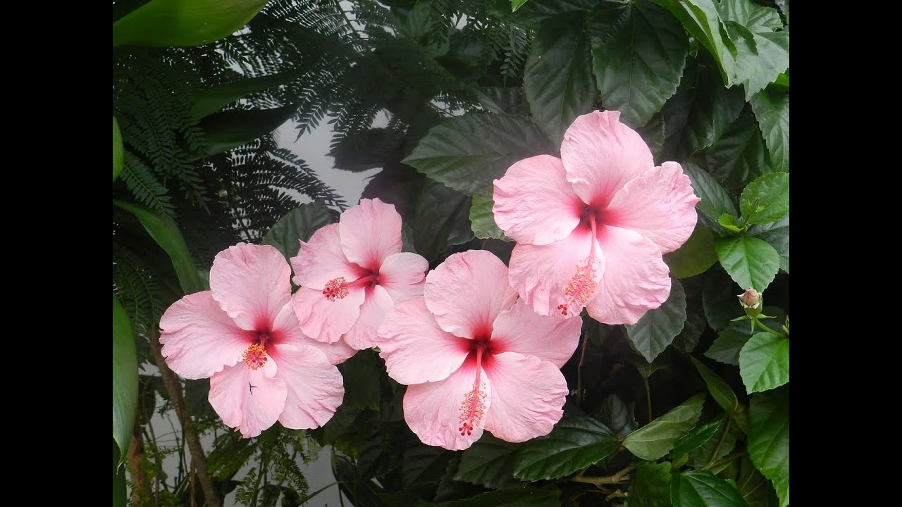 Beautiful And Holy Hibiscus Flowers Pictures Youtube