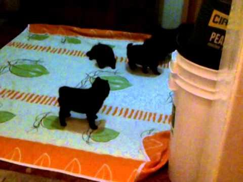 Schipperke puppies playing