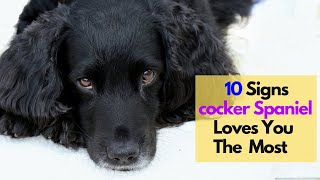 10 Signs Your Cocker Spaniel Loves You More Than Anything