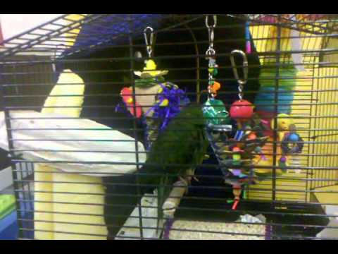 Tikka the Kakariki takes a bath @ Inca's Secret Parrot Toys