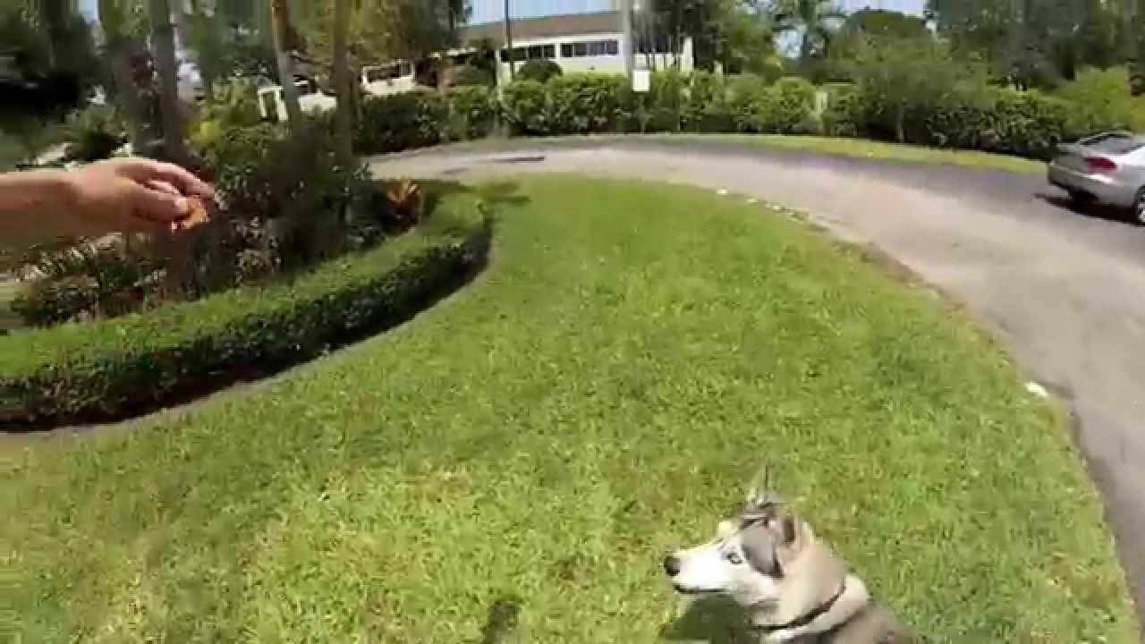 Husky Jumping For Treats