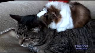 Морская свинка на спине у кота