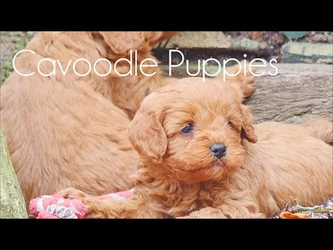 Cavoodle pups playing around