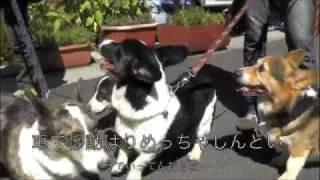 カーディガンとペンブロークが大阪から富士山へ http://corgis-head.com/