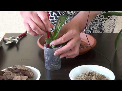 Посадка детки орхидеи фаленопсис