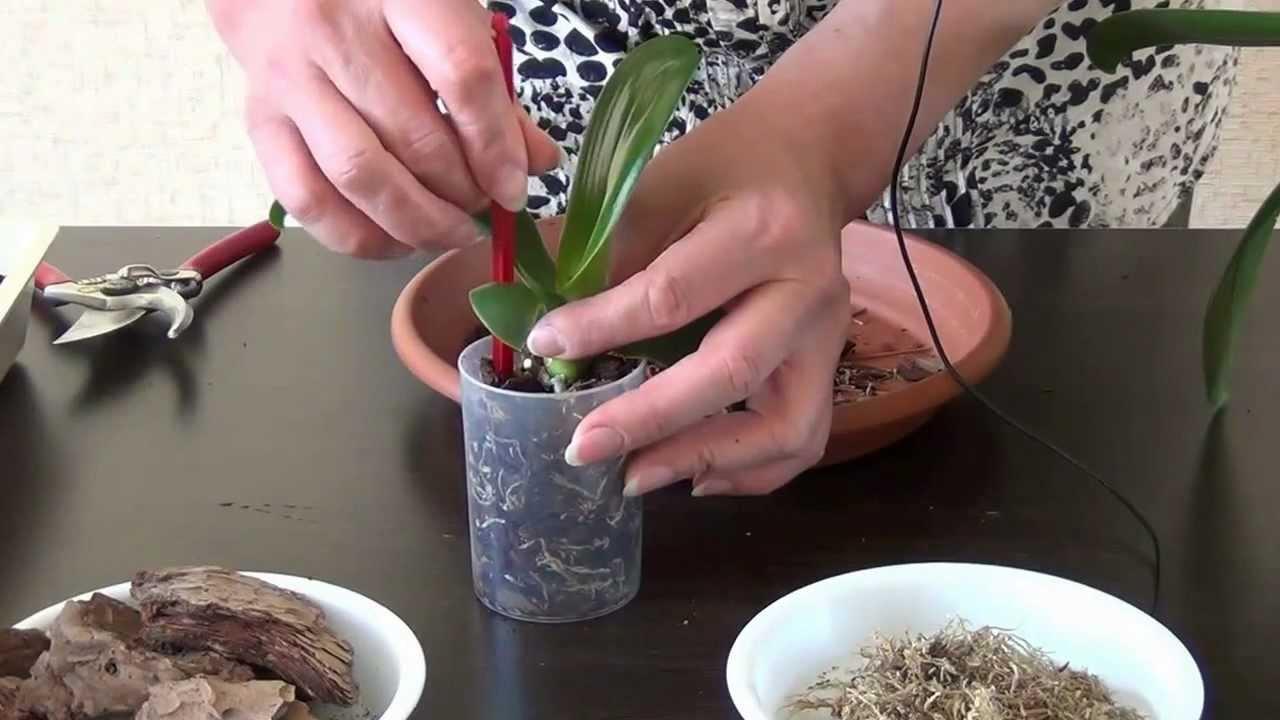 Как рассадить деток орхидеи