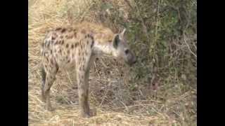A hyena, a dead impala and a nervous elephant