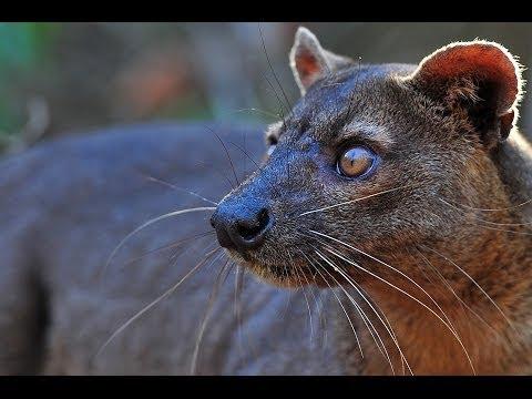 The Legendary Fossa in Madagascar