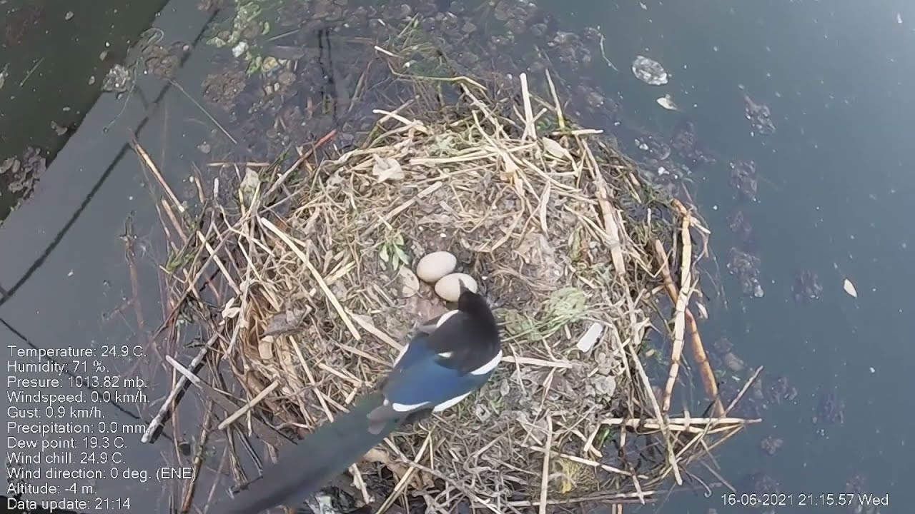 Magpie stealing Great crested grebe eggs