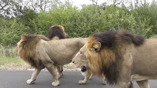 Best Male Lion sighting ever. Lions cause big traffic jam. Watch this amazing video.
