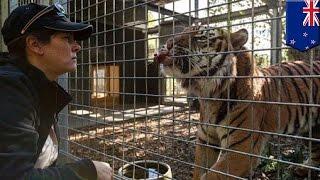 ニュージーランド北部のハミルトンにある動物園で、飼育員がトラにかま...