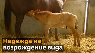 Первый клон лошади Пржевальского родился в США