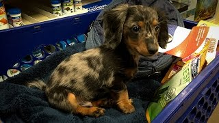 Turbo Toby's First Trip to PetSmart (Miniature Dachshund)