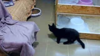Котенок мейн-куна и робот-пылесос!)
