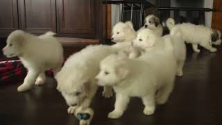 Great Pyrenees Puppies For Sale Chris & Annie Smucker