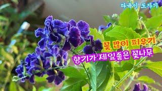 공기정화식물 발렌타인자스민 듀란타 키우기 꽃많이피게하는…