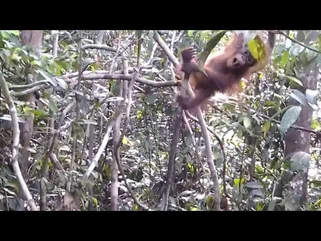 Orang Utan In Tanjung Puting National Park - Akhmad & Baby