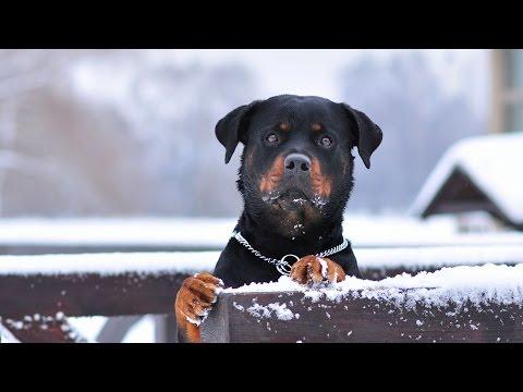 Rottweiler Hakkında Bilinmesi Gerekenler