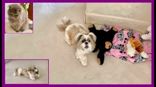 It's Lacey 🐶 and her zoomies! 💨🌪 | Hi Lexi 😻 Blue Persian cat | Shih Tzu dog 🐾
