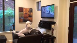 Poodle Has Big Bone Bet On The Triple Crown And Gets Excited When His Pony Pulls Away.
