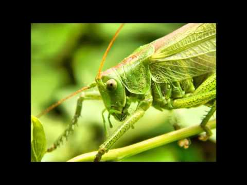 7 Fun Facts about Grasshoppers - YouTube