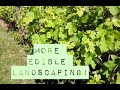 MORE Perennial Edible Landscaping!  Backyard Permaculture Garden Tour
