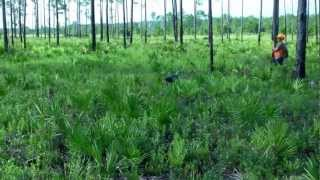 Madoc - German Shorthaired Pointer Puppy - First Quail Hunt