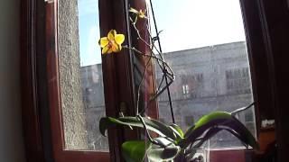 видео Что делать чтобы цвели орхидеи, заставить цвести орхидею дома