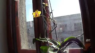 видео орхидея отцвела